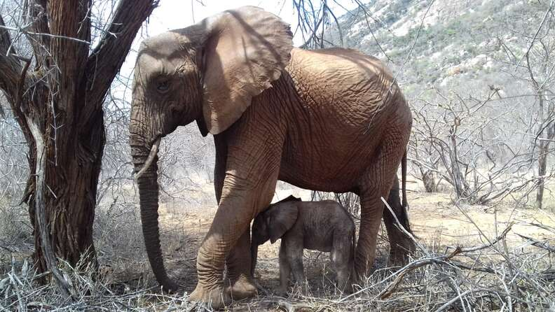 Orphaned elephant shows off her baby