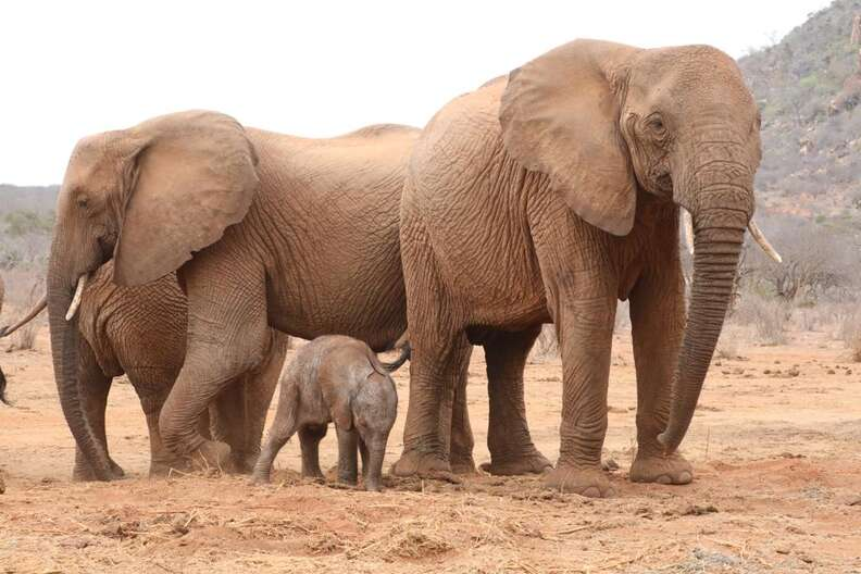 Lili the elephant calf and her herd