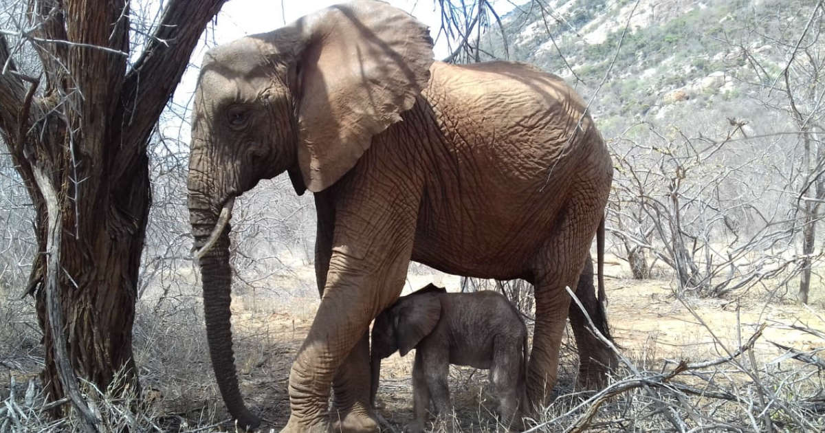 Wild Elephant Brings Her Newborn To Meet The People Who Saved Her