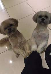 Harry and George, two Shih Tzu best friends