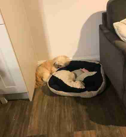 Dog leaves space on the bed for his dead friend