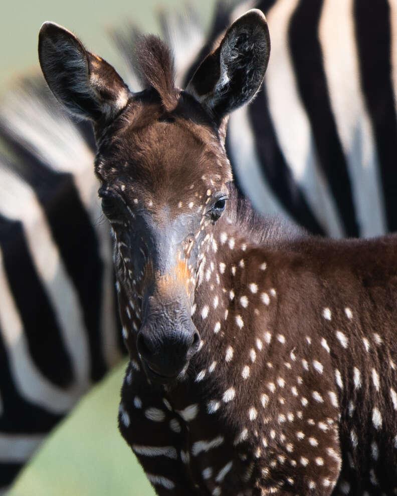 Baby zebra with dark coat and polka dots