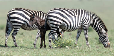 Baby zebra with herd members