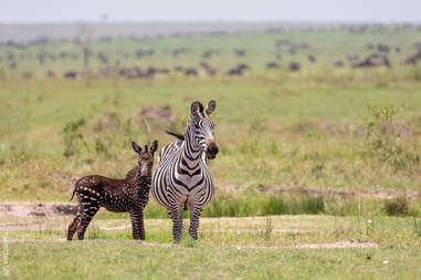 Unique looking baby zebra with mother