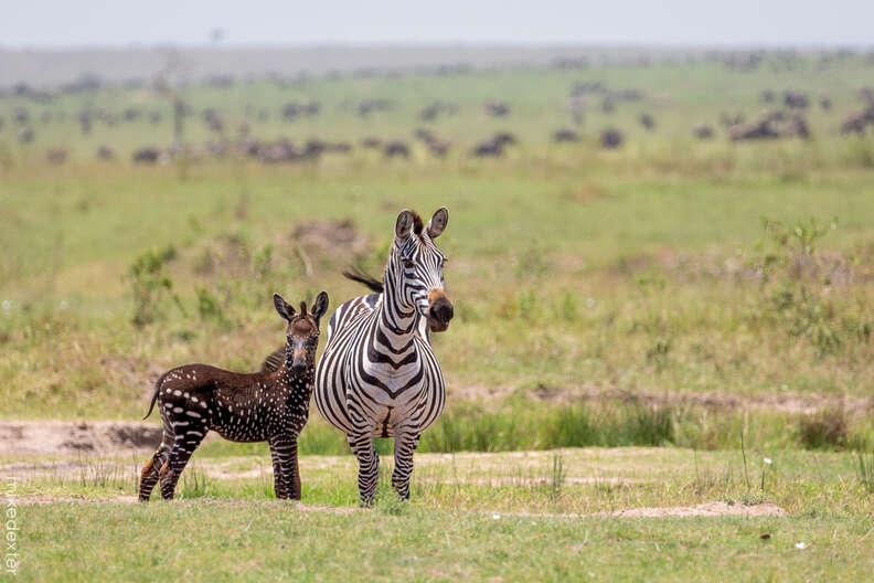 Unique looking baby zebra with mother