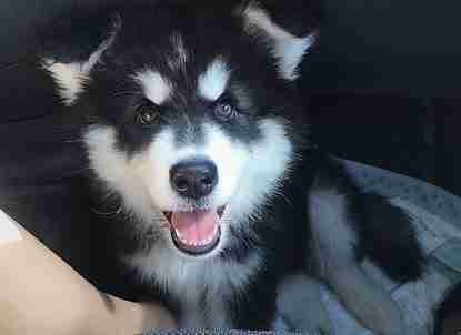Marshall the Alaskan Malamute as a puppy
