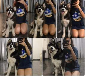 Alaskan Malamute goes from puppy to adult