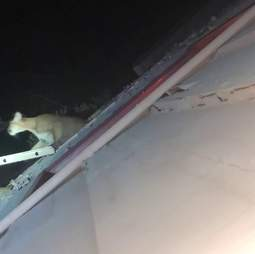 mountain lion breaks into house