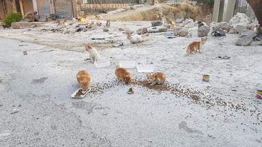 Stray cats eating cat food