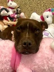 Sad looking dog lying on stuffed animals