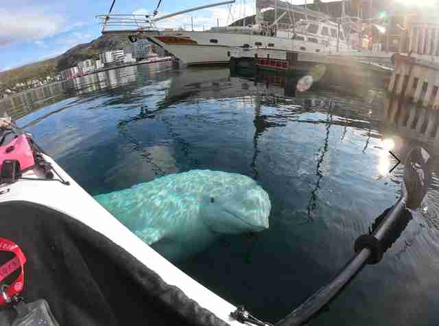 A beluga whale named Hvaldimir steals a kayaker's GoPro