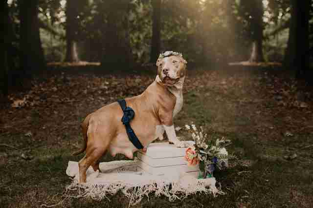 pregnant pit bull photo shoot