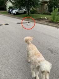Cat following dog on a walk