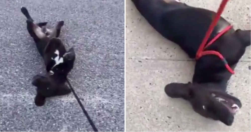 Dog Protests Coming Home From Walk In The Funniest Way