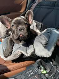 french bulldog going to vet