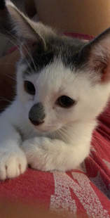 Cute kitten with black spot on nose