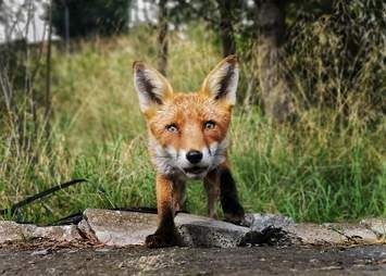 fox steals phone