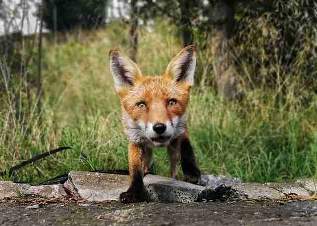 Fox Finds Phone Secretly Recording Him And Decides To Take Revenge