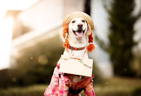 cute dog in costume pippy longstocking lab