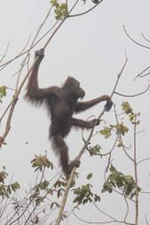 Orangutan clinging to last tree in burnt rainforest