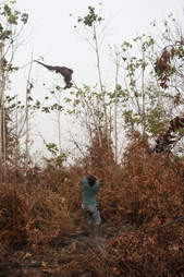 Orangutan in last tree in burned rainforest