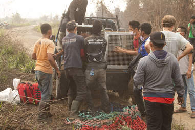 People loading rescue orangutan onto truck