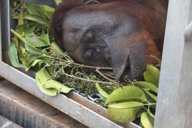 Orangutan safely in transport carrier