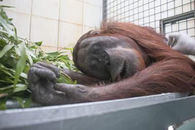 Rescued orangutan in transport carrier