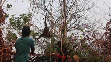 Rescuers saving orangutans in rainforest