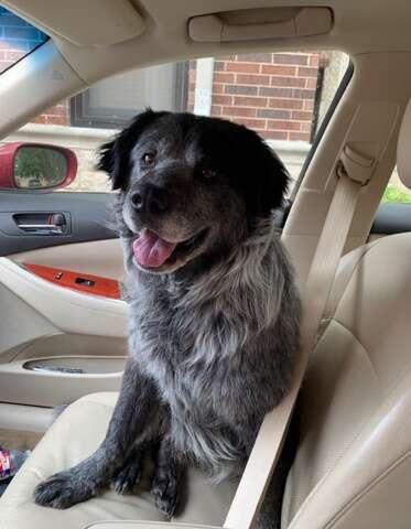 Smiling dog sitting in car