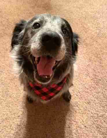 Smiling dog with bandana around neck