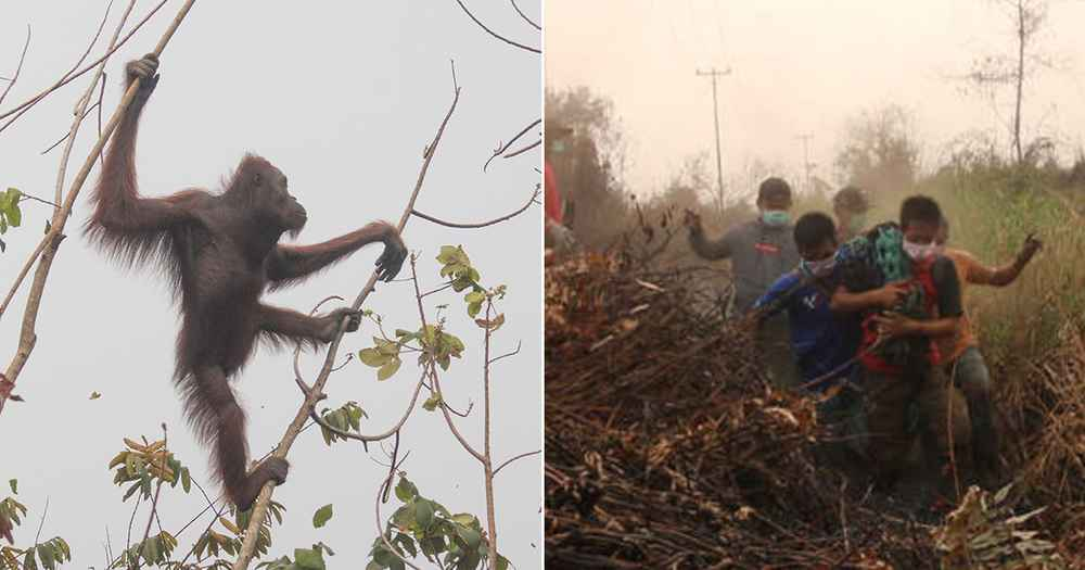 Orangutan Whose Forest Burned Down Is Saved Just In Time