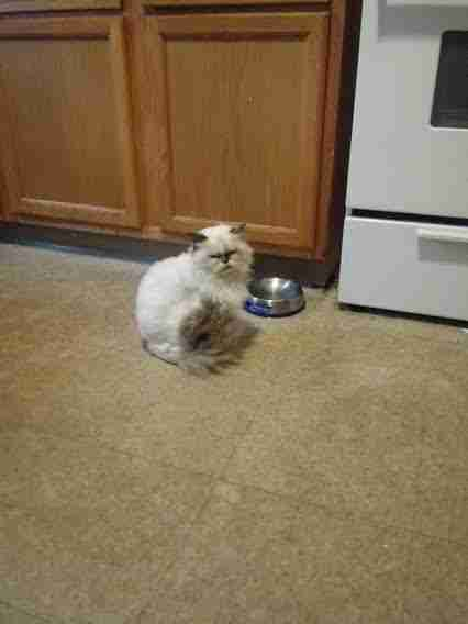 Persian cat sitting in front of bowls on floor
