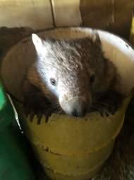 hungry wombat
