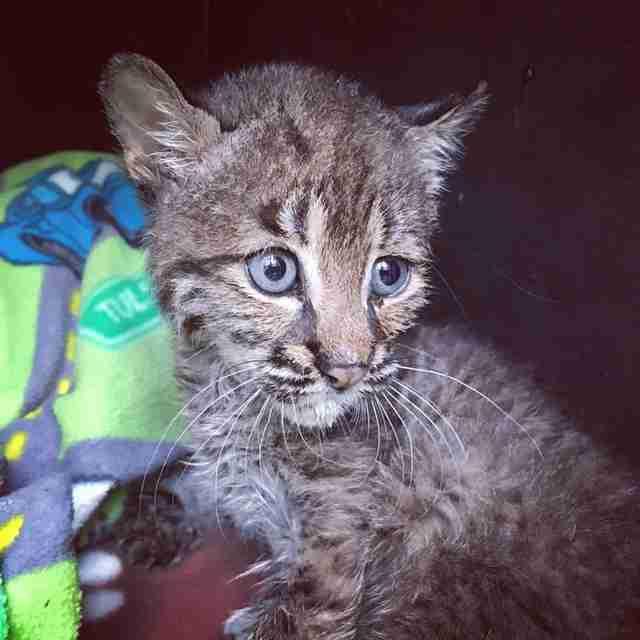 Baby bobcat at rehabilitation
