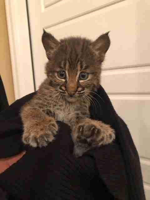 Bobcat kitten wrapped up in sweater