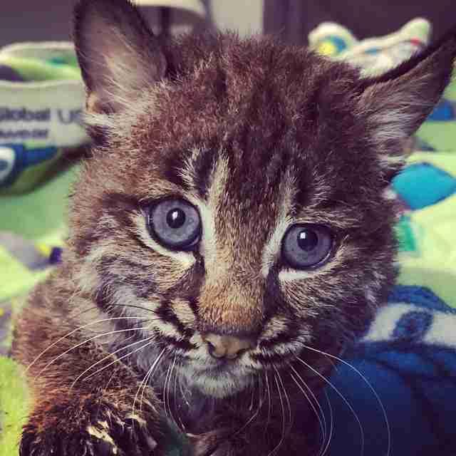Baby bobcat in rehabilitation