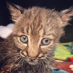 Baby bobcat kitten