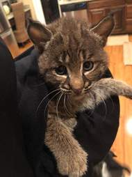 Bobcat being held by person inside sweater