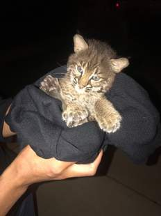 Bobcat kitten wrapped up in black sweater
