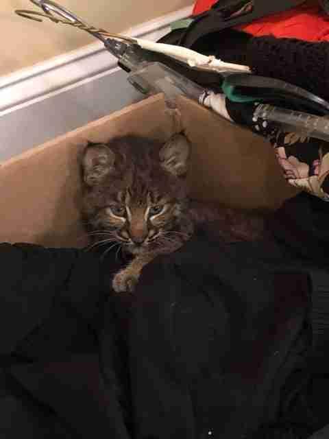 Bobcat kitten snuggled up in box