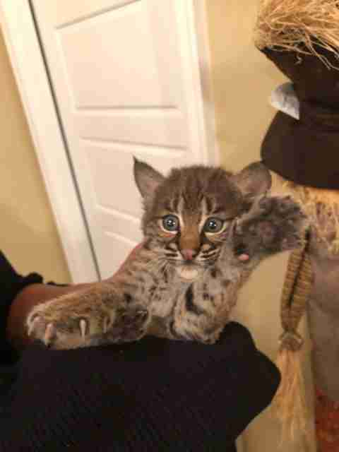 Bobcat kitten holding a big paw up