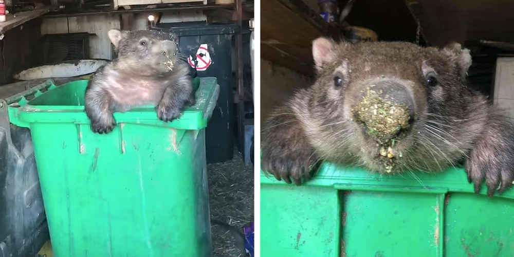Chubby Thief Caught Red-Handed Stealing Snack From Food Bin