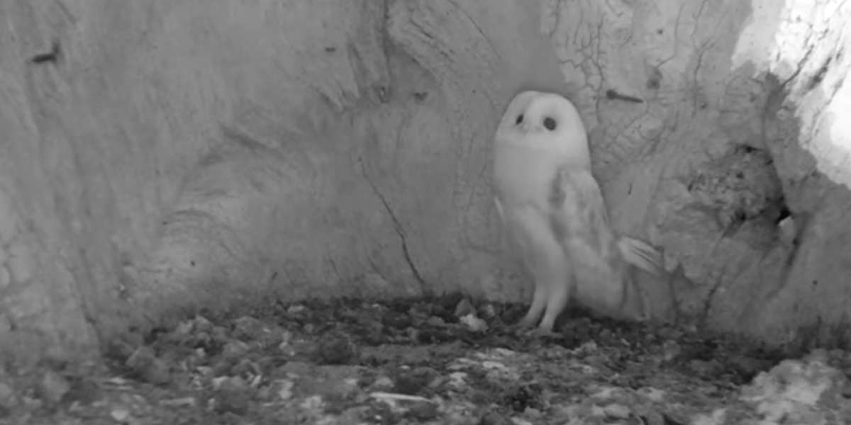 Watch This Baby Barn Owl Hear Thunder For The First Time