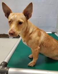 Corgi mix sitting on dog bed in shelter