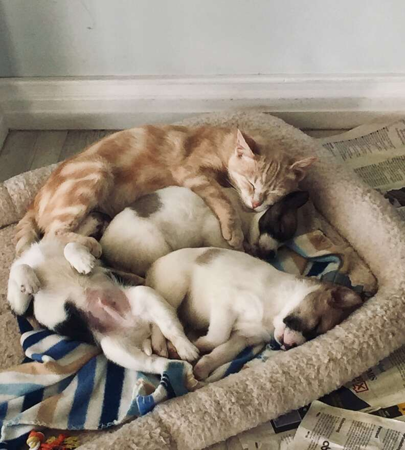 Kathryn the cat adopts a litter of puppies