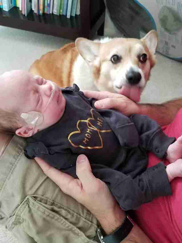 corgi watches babies