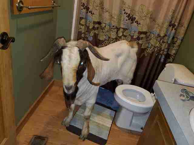 goat breaks into house