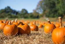 Find Your Perfect Jack-O'-Lantern at These NYC-Area Pumpkin Patches