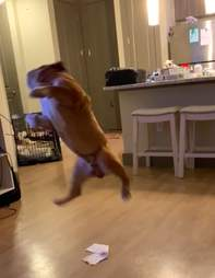 Bentley the dog plays with toilet paper on fan